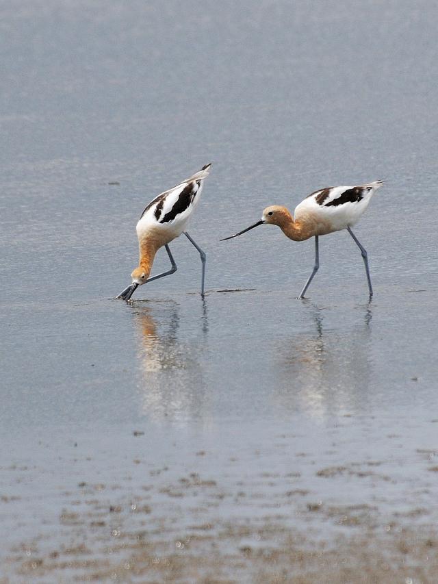 夏羽のアメリカソリハシセイタカシギ (10態-9) メリット島国立野生動物保護区 Bio Lab Road メリット島 フロリダ 米国 Merritt Island National Wildlife Refuge Merritt Island, Atlantic coast of Florida, USA 2013/06/02 Photo by Kohyuh