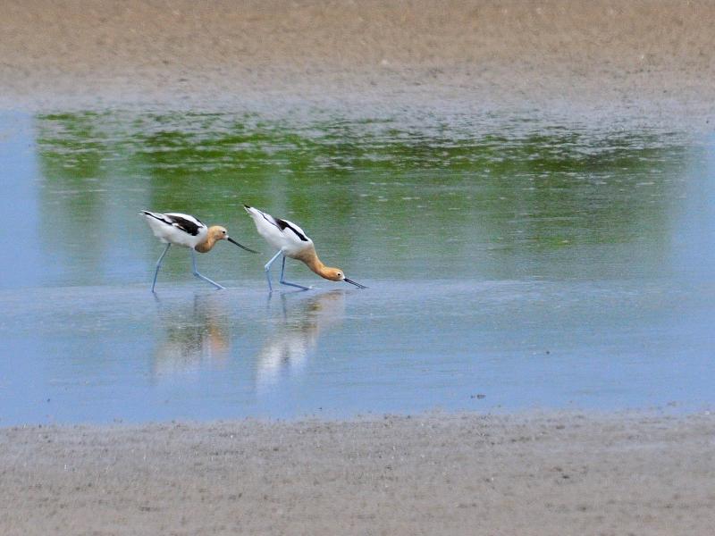 夏羽のアメリカソリハシセイタカシギ (10態-2) メリット島国立野生動物保護区 Bio Lab Road メリット島 フロリダ 米国 Merritt Island National Wildlife Refuge Merritt Island, Atlantic coast of Florida, USA 2013/06/02 Photo by Kohyuh