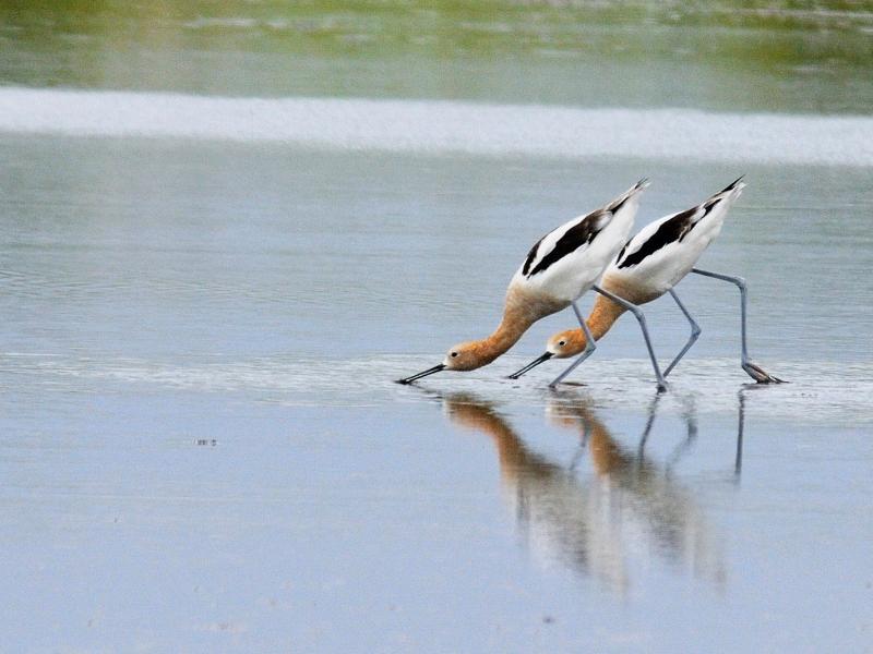 夏羽のアメリカソリハシセイタカシギ (10態-6) メリット島国立野生動物保護区 Bio Lab Road メリット島 フロリダ 米国 Merritt Island National Wildlife Refuge Merritt Island, Atlantic coast of Florida, USA 2013/06/02 Photo by Kohyuh