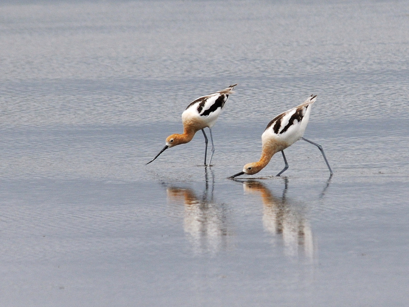 夏羽のアメリカソリハシセイタカシギ (10態-7) メリット島国立野生動物保護区 Bio Lab Road メリット島 フロリダ 米国 Merritt Island National Wildlife Refuge Merritt Island, Atlantic coast of Florida, USA 2013/06/02 Photo by Kohyuh