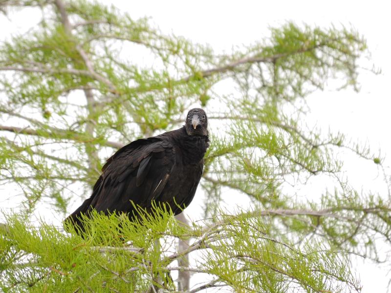 クロコンドル(2態-1) マイアミ近郊 フロリダ 米国 near by Miami, Florida, USA 2013/06/05 Photo by Kohyuh