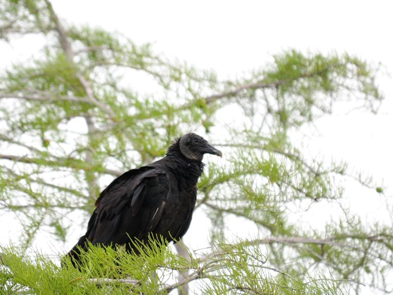 クロコンドル(2態-2) マイアミ近郊 フロリダ 米国 near by Miami, Florida, USA 2013/06/05 Photo by Kohyuh