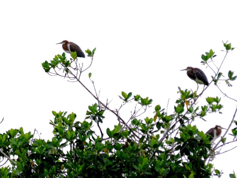 サンショクサギ (若鳥) マイアミ近郊 フロリダ 米国 near by Miami, Florida, USA 2013/06/05 Photo by Kohyuh