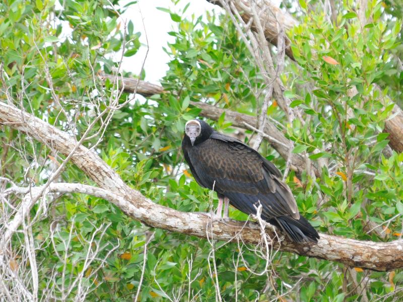 ヒメコンドル (3態-3) マイアミ近郊 フロリダ 米国 near by Miami, Florida, USA 2013/06/05 Photo by Kohyuh