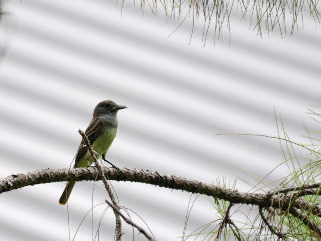 オリーブヒタキモドキ (6態-4) マイアミ近郊 フロリダ 米国 near by Miami, Florida, USA 2013/06/05 Photo by Kohyuh