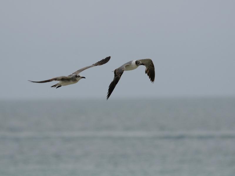 ワライカモメ(飛び姿) マイアミビーチ フロリダ 米国 Miami Beach, Florida, USA 2013/06/02 Photo by Kohyuh