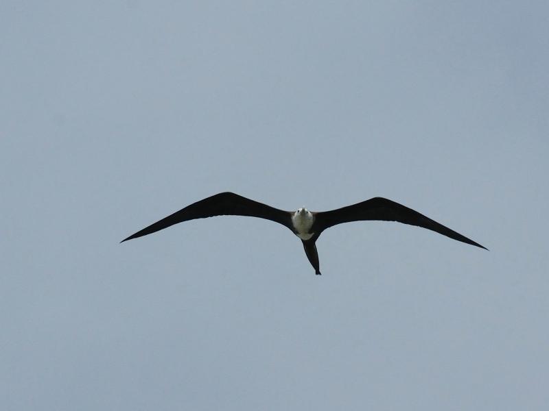 アメリカグンカンドリ若鳥 (4態-2) マイアミ近郊 フロリダ 米国 Miami, Florida, USA 2013/06/06 Photo by Kohyuh