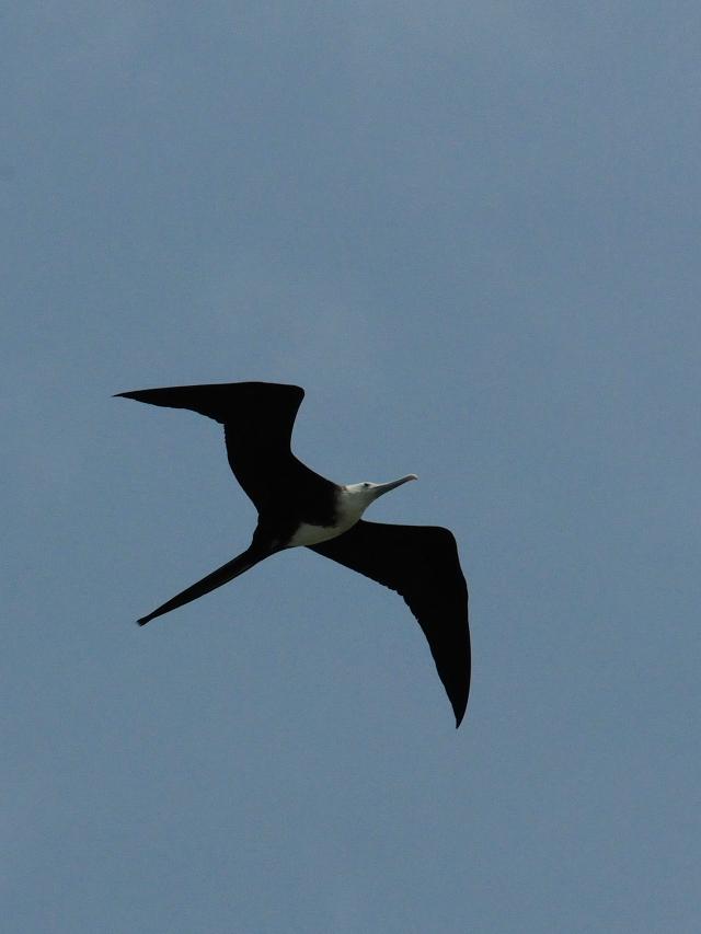 アメリカグンカンドリ若鳥 (4態-4) マイアミ近郊 フロリダ 米国 Miami, Florida, USA 2013/06/06 Photo by Kohyuh