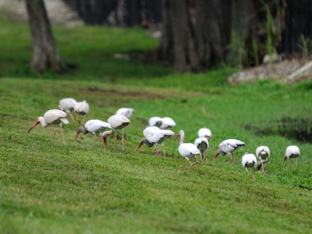シロトキ(6態-1) ネイプルズ近郊 フロリダ 米国 near by Naples, Florida, USA 2013/06/06 Photo by Kohyuh