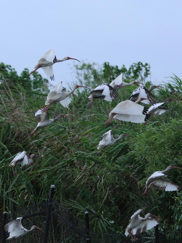 シロトキ(6態-3) ネイプルズ近郊 フロリダ 米国 near by Naples, Florida, USA 2013/06/06 Photo by Kohyuh