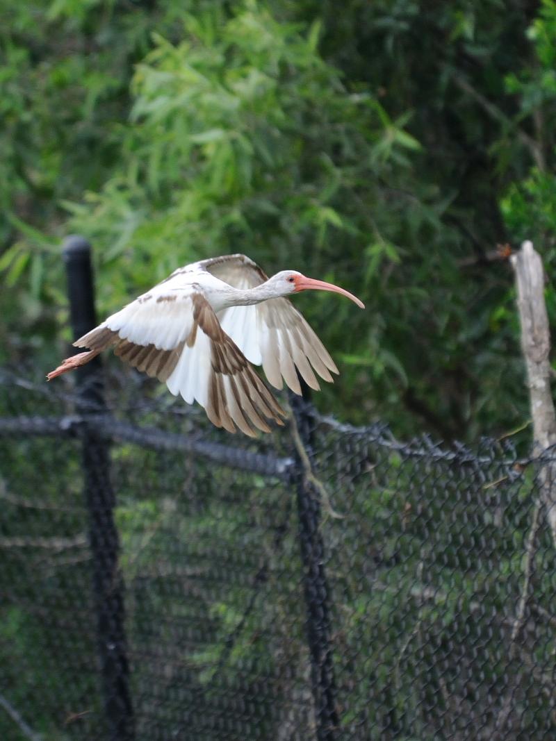 シロトキ(6態-6) ネイプルズ近郊 フロリダ 米国 near by Naples, Florida, USA 2013/06/06 Photo by Kohyuh